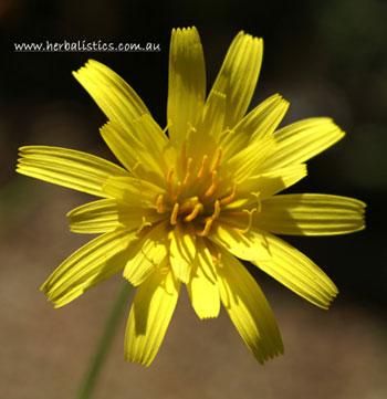 Microseris lanceolata - Murnong (seed) image 1
