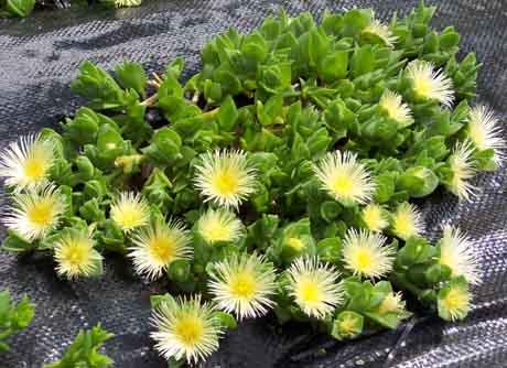 Sceletium Tortuosum – Kanna (plant)