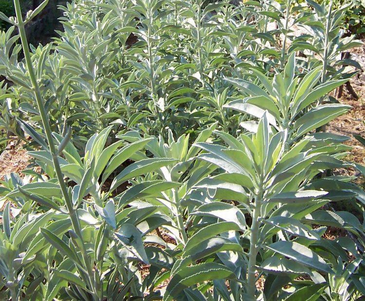 Salvia Apiana – White Sage (plant)