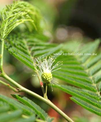 Anadenanthera Colubrina – Cebil (plant)