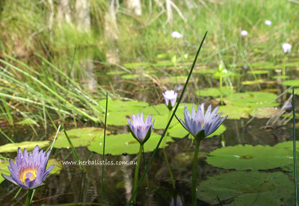 Nymphaea caerulea blue lotus seed herbalistics mightylinksfo Image collections