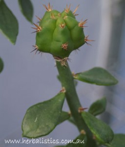 Pereskiopsis graft