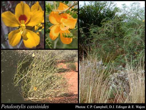 Petalostylis cassioides