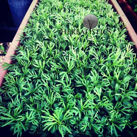 Peganum Harmala (Syrian Rue) Seed Germination