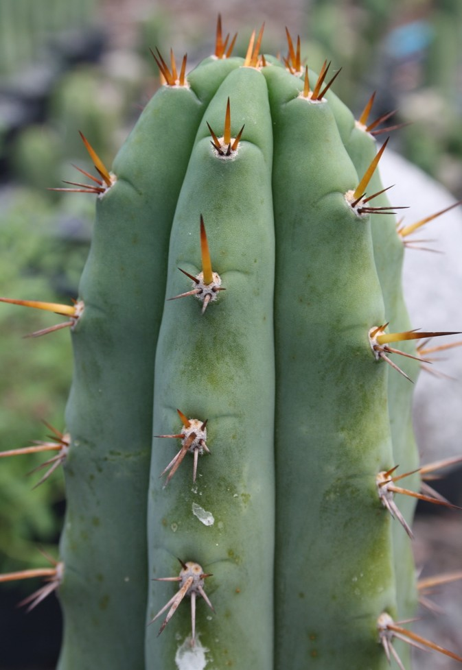 Trichocereus 'HB01' (cactus)