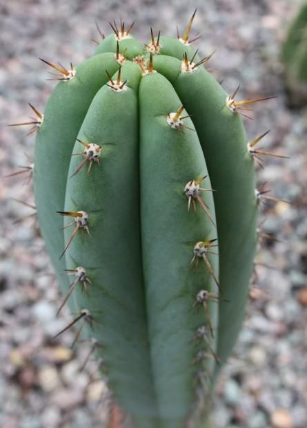 Trichocereus Peruvianus – Icaro (seed)