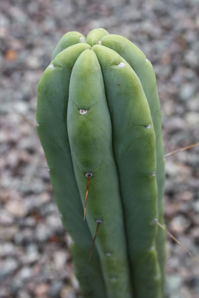 Trichocereus Bridgesii 'Eileen' (cactus)
