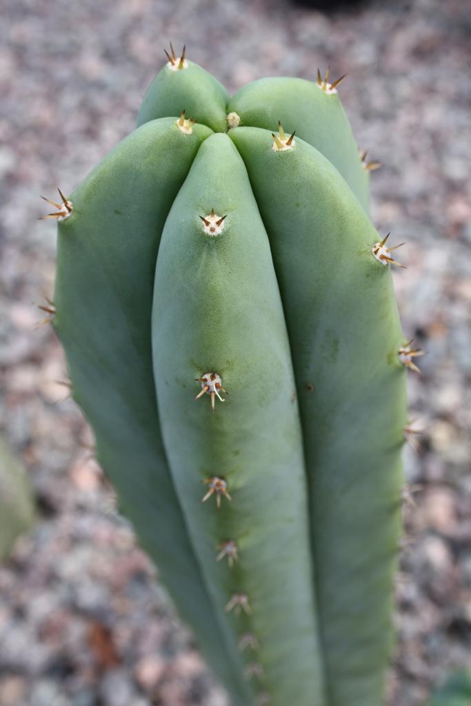 Trichocereus 'Super Pedro' (cactus)
