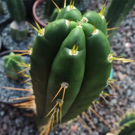 Trichocereus BK09509.2 – Huachuma De Chavin (cactus)