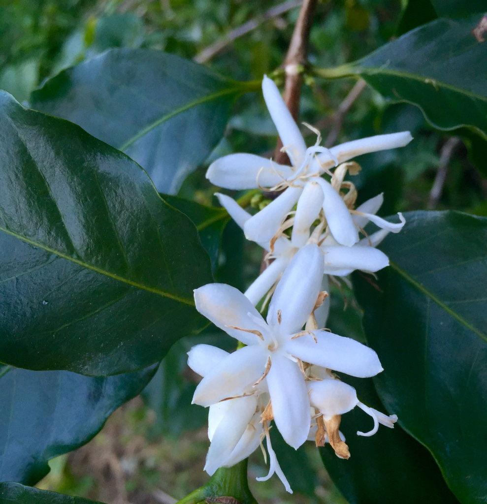 Coffea Canephora – Robusta Coffee (plant)