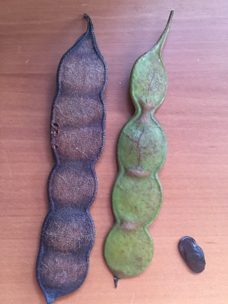 Yopo pods and seed