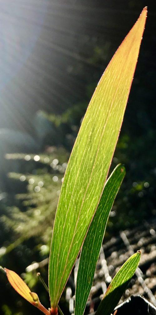 Acacia Obtusifolia – Blunt Leaf Wattle (plant)