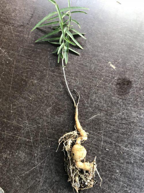 Marsdenia Australis – Silky Pear (plant)