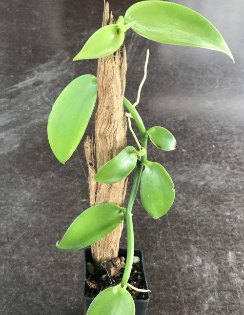 Vanilla Planifolia – Vanilla (plant)