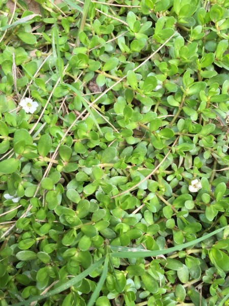 Bacopa Monnieri – Brahmi (plant)