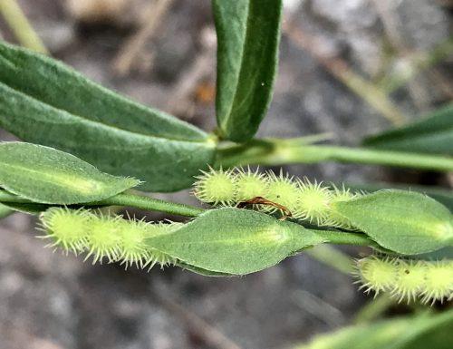 Zornia latifolia