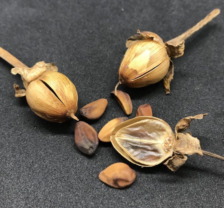 Ipomoea polpha ssp. weirana