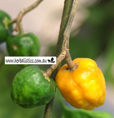 Tabernanthe iboga Round Fruit