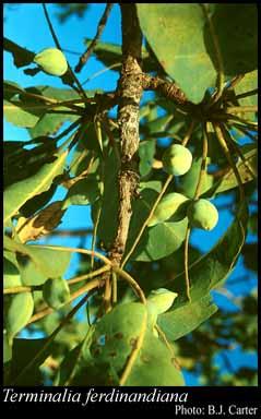 Terminalia Ferdinandiana – Kakadu Plum (plant)