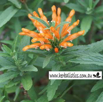 Leonotis Leonurus – Lion's Tail (seed)