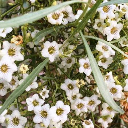 Duboisia Hopwoodii 'Pituri'