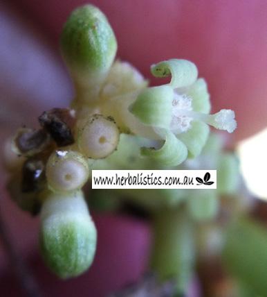 Psychotria Nexus