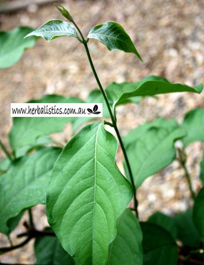 Banisteriopsis Caapi Nuevo Ola
