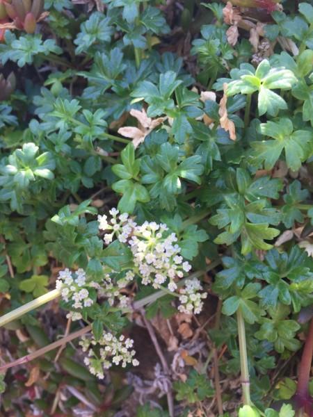 Apium Prostratum Var. Prostratum – Sea Celery (seed)