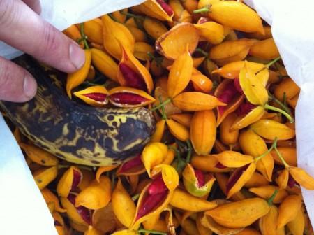 Tabernaemontana pandacaqui fruit and seeds