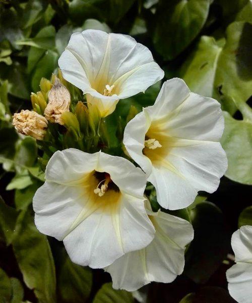 Turbina Corymbosa – Ololiuqui (plant)