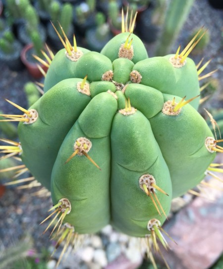 Trichocereus Cuzcoensis – 200mm FAT Cutting