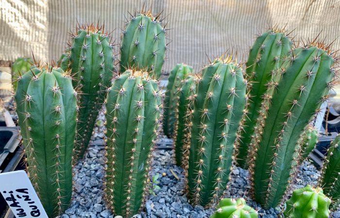 Trichocereus Peruvianus 'Huariquiña' (cactus)