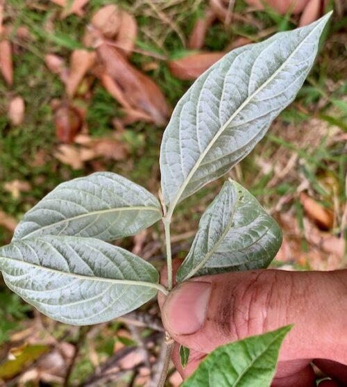 Banisteriopsis Muricata