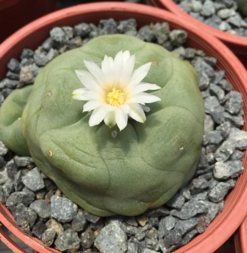 cactus sp