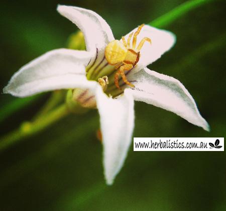 Duboisia flower