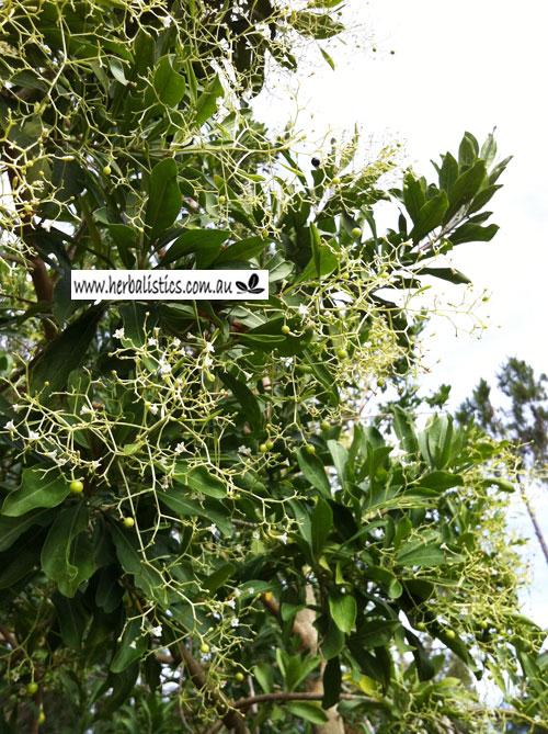 Duboisia Myoporoides – Corkwood (plant)