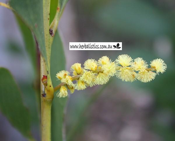 Acacia phlebophylla flower