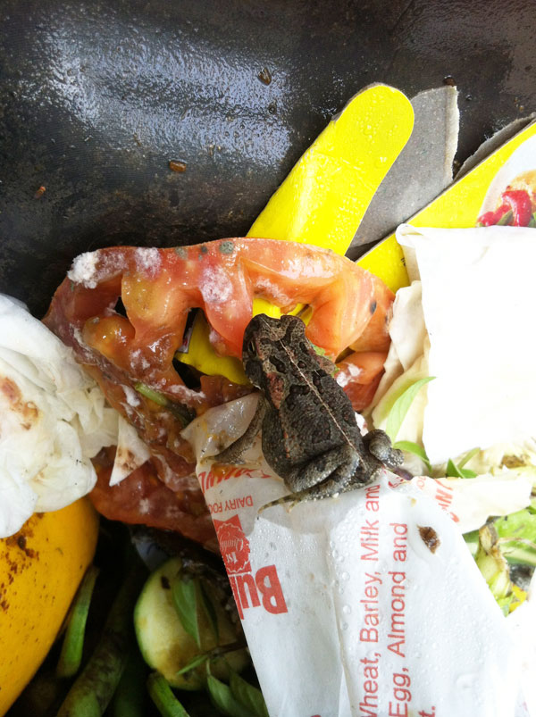Cane Toads In Compost