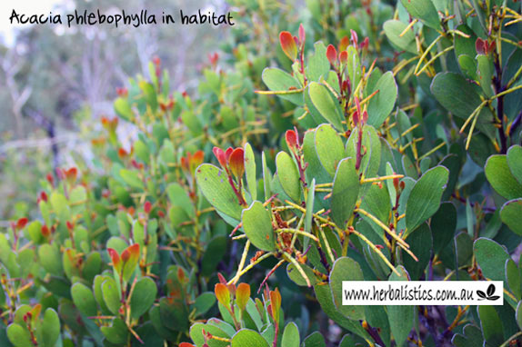 Acacia Phlebophylla – Cultivation From Seed