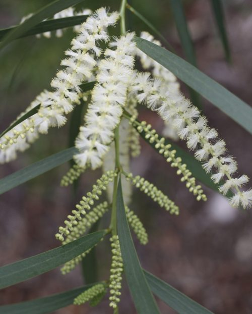 Acacia Courtii – Three Brothers Wattle (plant)