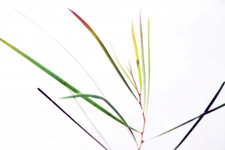 Acacia Acuminata Narrow Phyllode