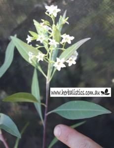 Duboisia_hybrid3