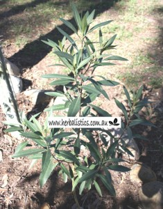 Duboisia_hybrid4