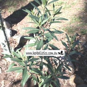 Duboisia hybrid