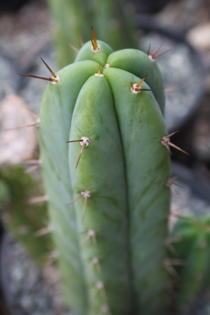 Trichocereus 'SS02 X Juuls Giant' (cactus)
