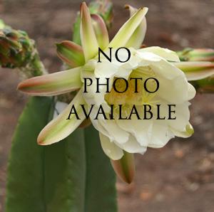 Trichocereus Pasacana (seed)
