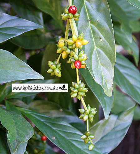 Psychotria Species – Chacruna (25 Leaves)