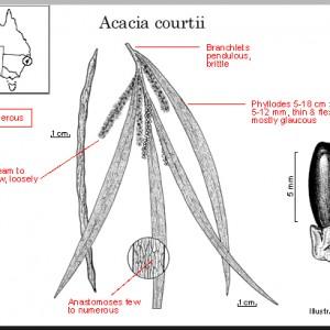 Acacia courtii