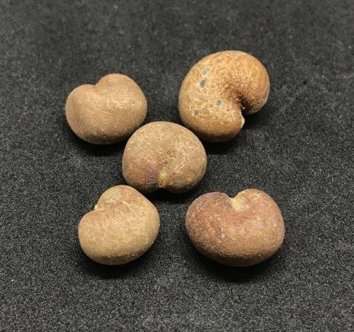 Adansonia Rubrostipa – Fony Baobab (seed)