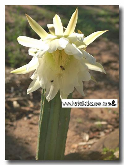 Trichocereus Pachanoi – San Pedro (seed)